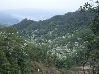 070501_576谷間の油桐花.jpg